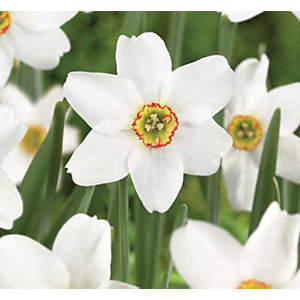Poet's Daffodils, Phesant's Eye - White/yellow/red