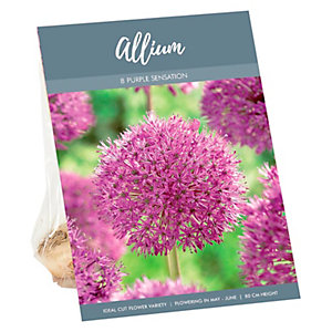 Allium Purple Sensation spring summer Bulb