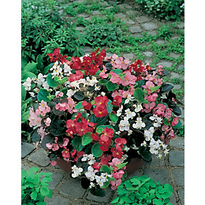 Begonia mix 24 pack A