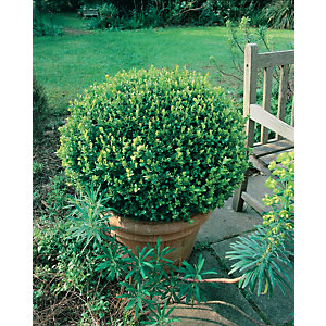 Buxus Ball Supplied in Pot - 17L