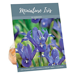 Iris Reticulata Harmony Early flowering Bulb