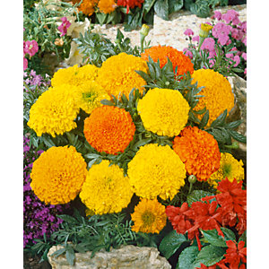 Marigold African 6 pack B