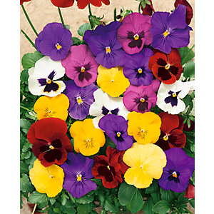 Pansy mixed flowers 24 pack A