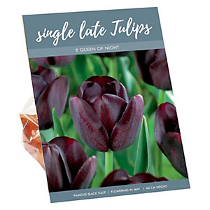 Queen of Night Late Single Tall Tulips