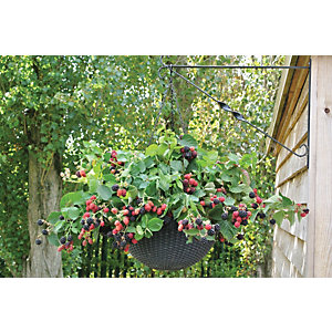 Unwins Black Cascade Blackberry Bush Outdoor Plant - Pack of 3