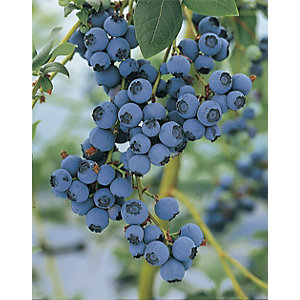 Unwins Bluecrop Blueberry Outdoor Plant - 1L