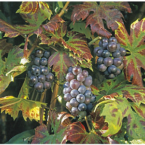 Unwins Boskoop Glory Grape Vine Outdoor Plant - 2L