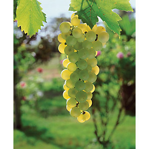 Unwins Golden Champion Grape Vine Outdoor Plant - 2L