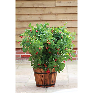 Unwins Ruby Beauty Raspberry Bush - Pack of 3