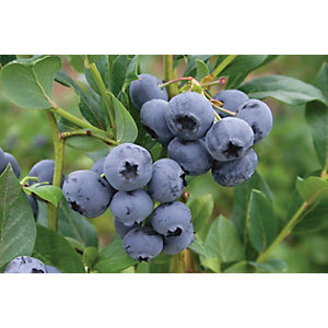 Unwins Sunshine Blue Blueberry Outdoor Plant - 1L