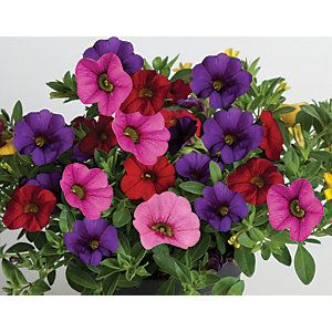Wickes Petunia Trailing Mix 6 Pack A
