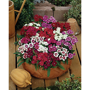 Wickes Sweet William Mix 24 Pack A