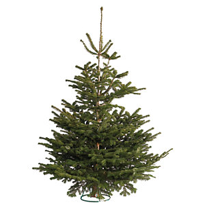 Nordman Fir Christmas Tree 6-7ft