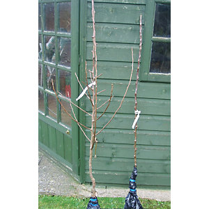 Unwins Bramley Bare Root Apple Tree