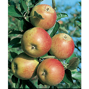 Unwins Coxs Orange Pippin Bare Root Apple Tree