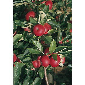 Unwins Discovery Bare Root Apple Tree