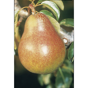 Unwins Duo Bare Root Pear Tree