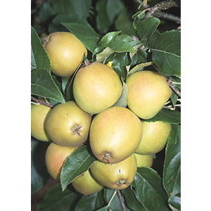 Unwins Egremont Russet Bare Root Apple Tree