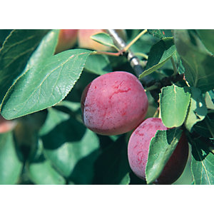Unwins Opal Bare Root Plum Tree