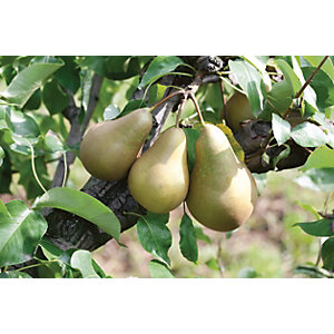 Unwins Patio Conference Pear Tree