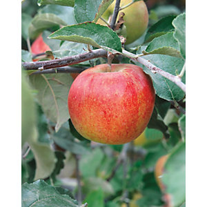 Unwins Patio Jonagold Apple Tree