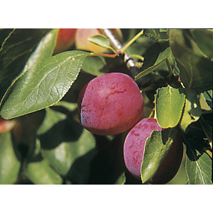 Unwins Patio Opal Plum Tree